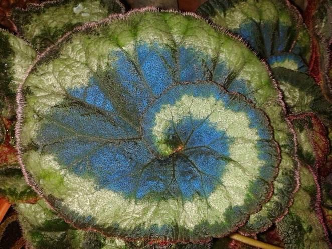 Le secret des bégonias à feuilles bleues est peut-être percé Peacoc10