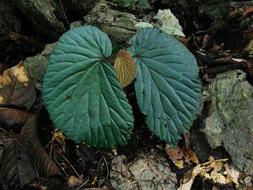 Le secret des bégonias à feuilles bleues est peut-être percé Sp_bor10