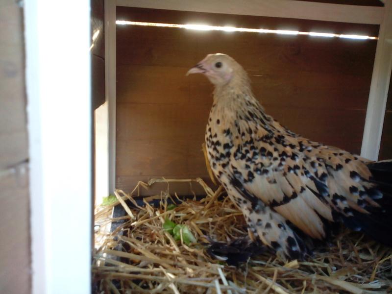Grande exposition /concours avicole virtuel de fin d'année spécial Gallinacée (100 euros à gagner) Img_2010