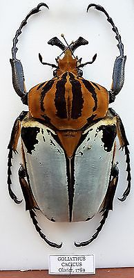 My Goliath beetles! Goliat12