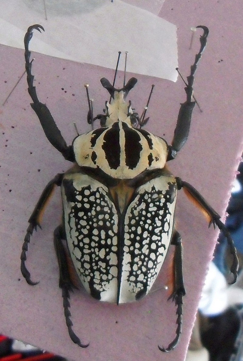 My Goliath beetles! Sdc11010
