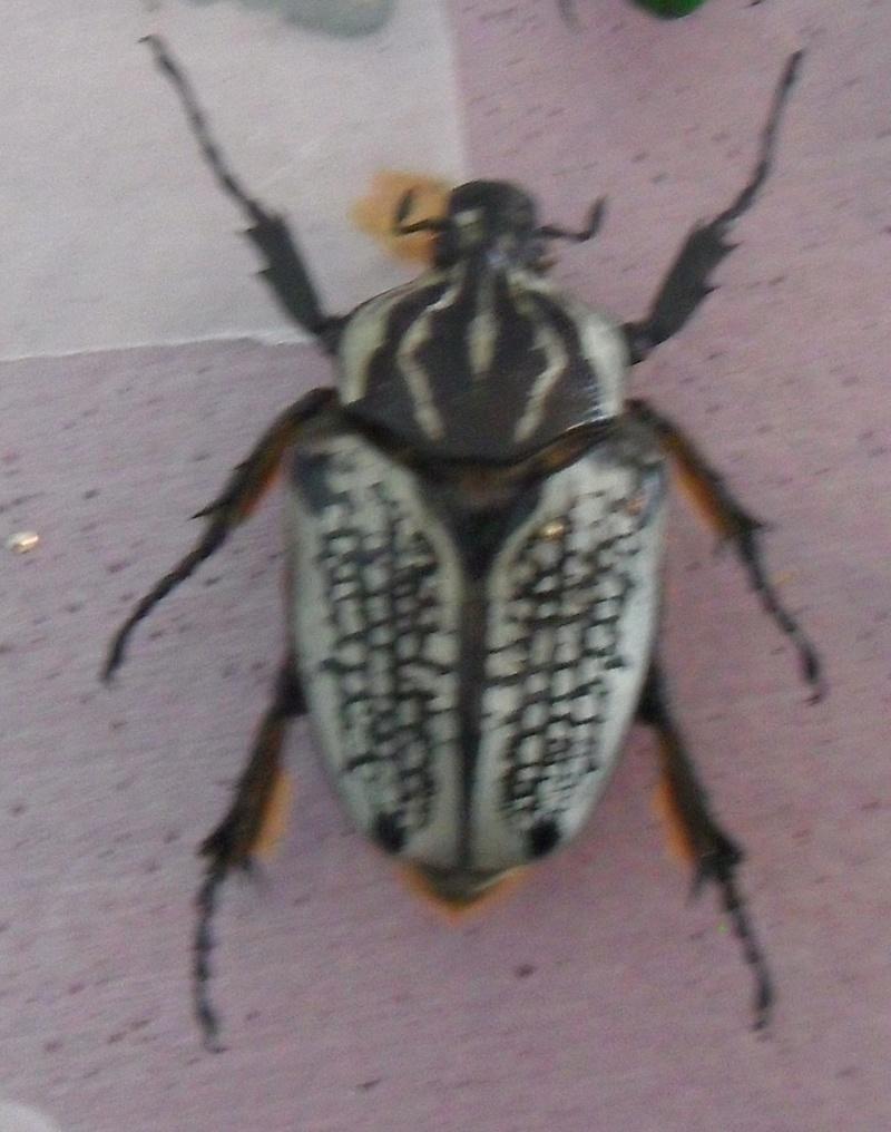 My Goliath beetles! Sdc11011