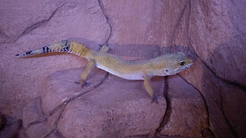 Mon gecko ne mange pas  Imag0011