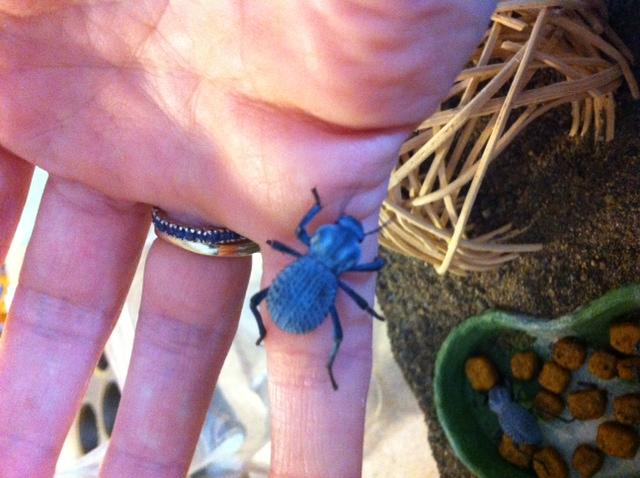 Beetle habitat? Blue_b10
