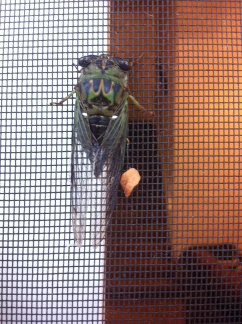 Visiting Cicada Cicada12