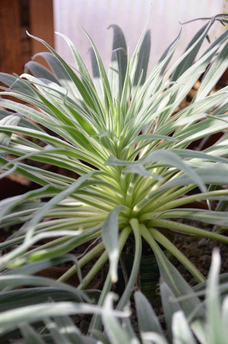 Echium wildpretii - Seite 10 008_210