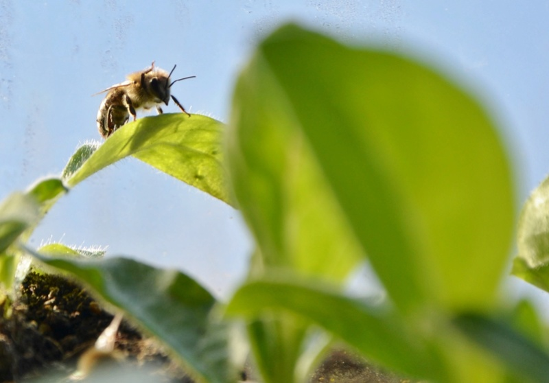 Echium wildpretii - Seite 9 05010