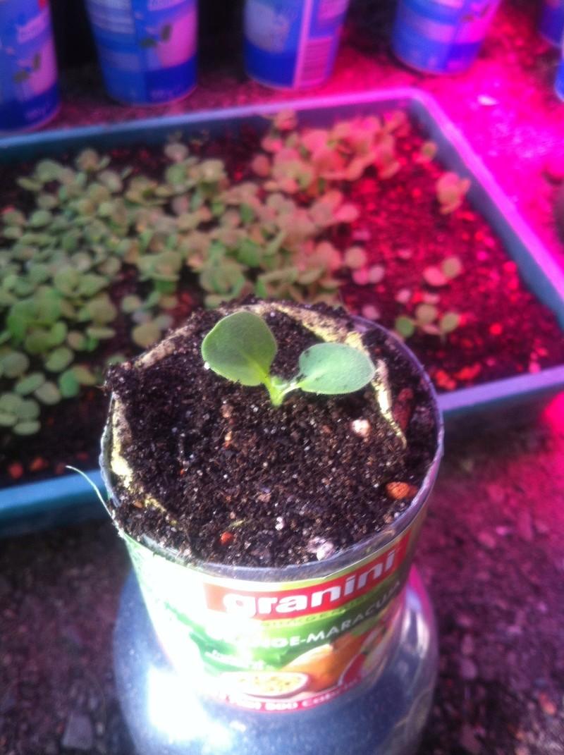 Echium wildpretii - Seite 7 Img_2712