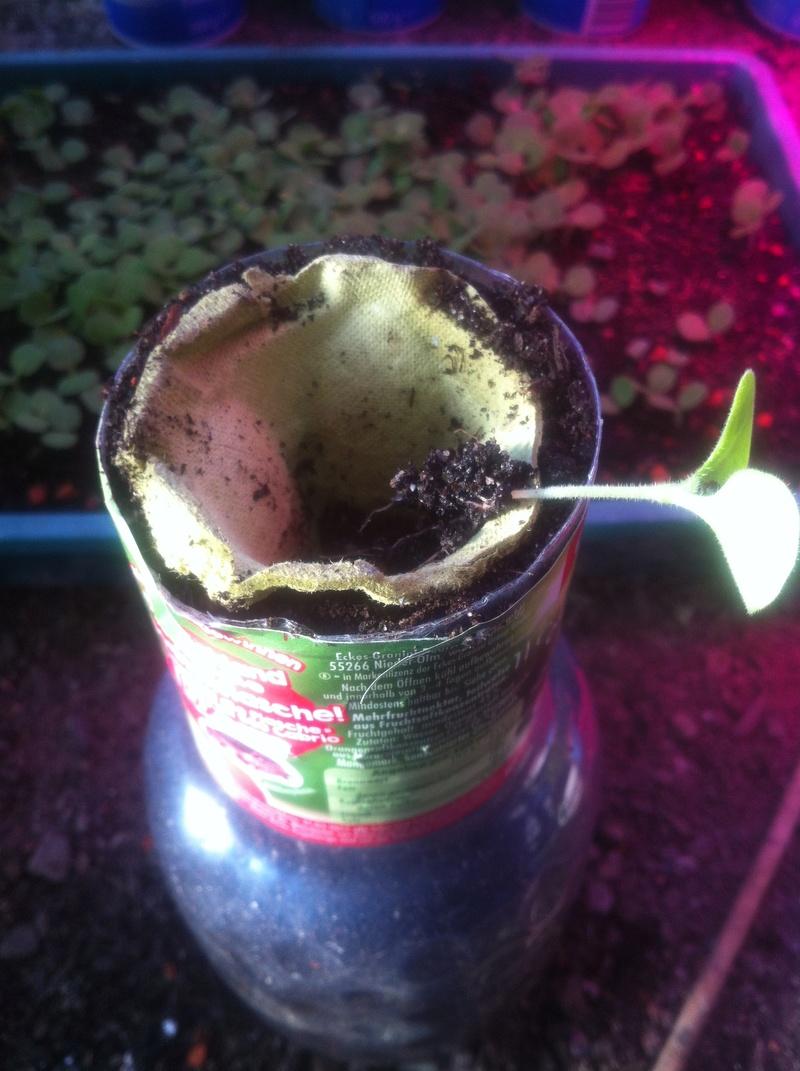 Echium wildpretii - Seite 7 Img_2713