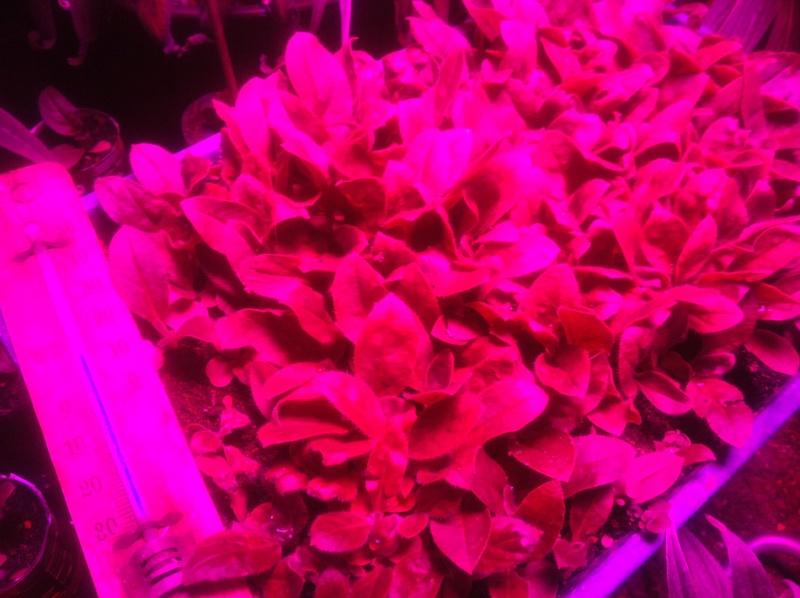 Echium wildpretii - Seite 9 Img_2810