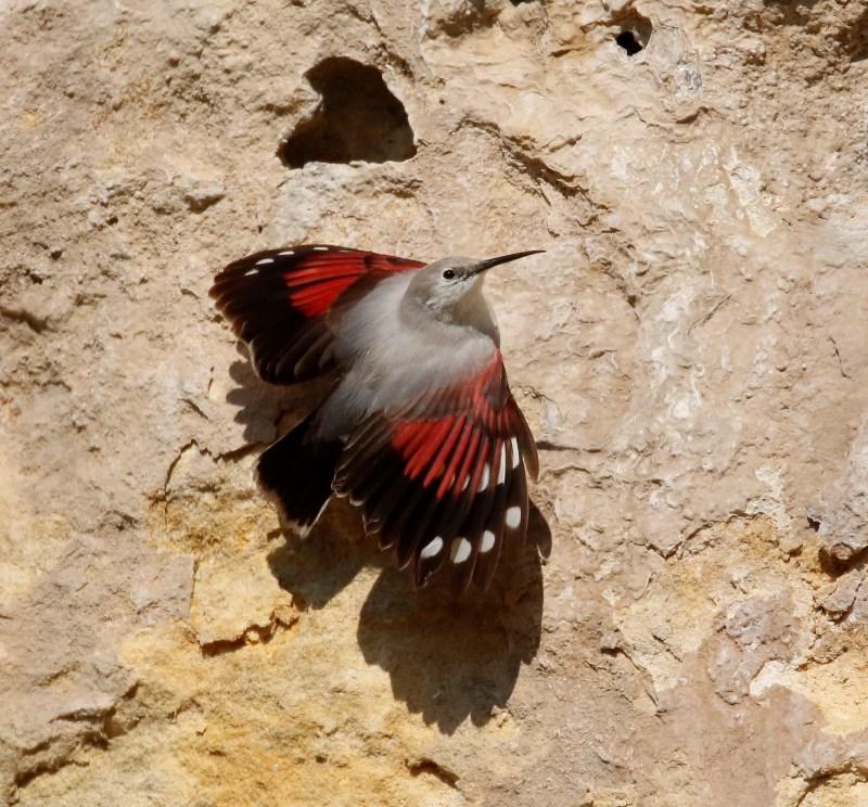 Tichodrome échelette: l'oiseaux papillon Titi112