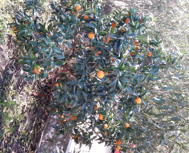 Oranger Navel Navelina? 20161112