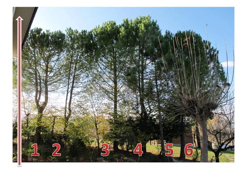 abbattimento o cimatura di pini e abeti - Pagina 3 Piante10