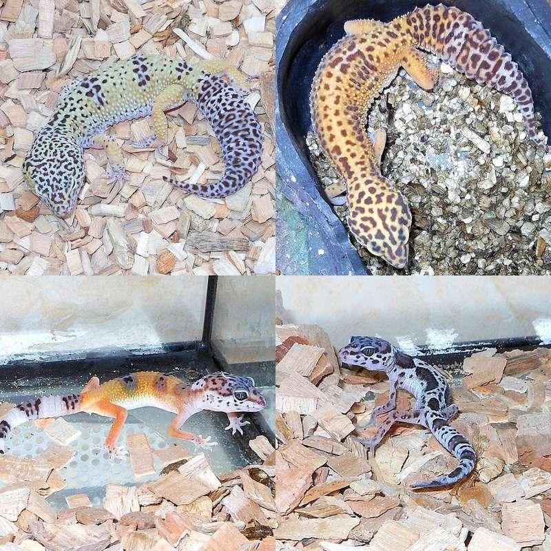 Quelle phase pour mes geckos ? ^^ Geckos10