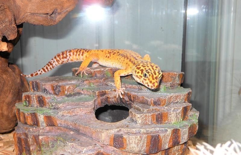 Quelle phase pour mes geckos ? ^^ La_gec10