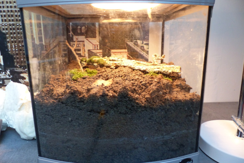 Mes Geckos Leopard P1050416