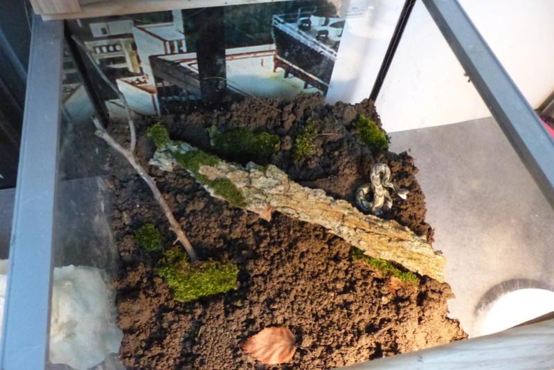 Mes Geckos Leopard P1050417