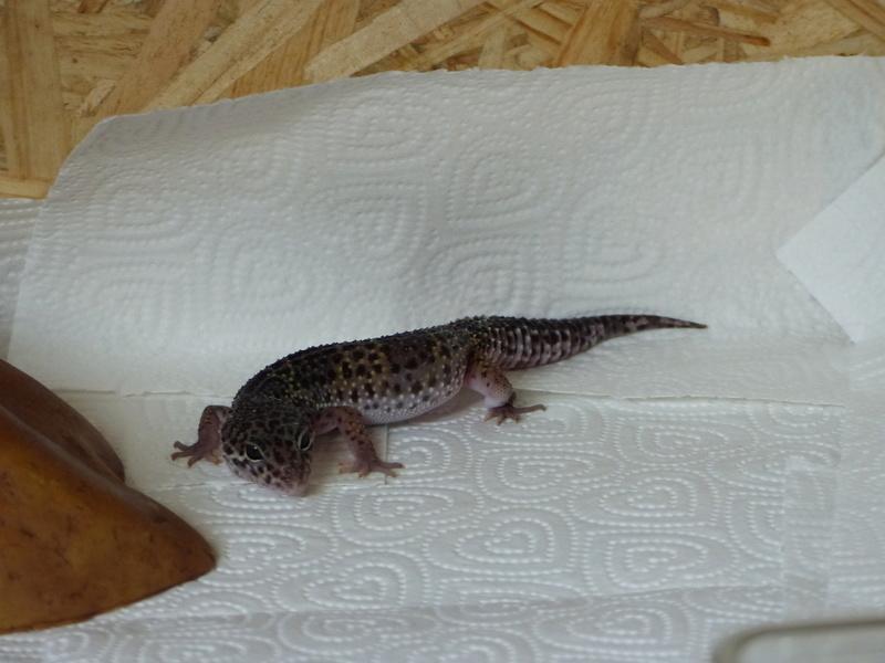 Mes Geckos Leopard - Page 2 P1050420