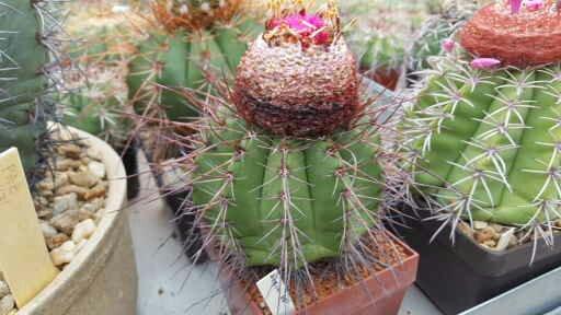 Melocactus longispinus 14685110