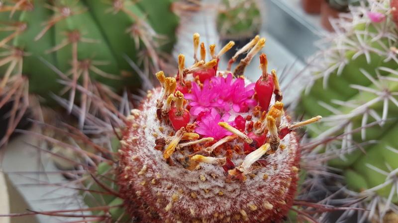 Melocactus longispinus 20160711