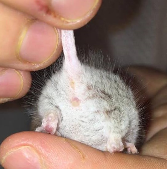 Help me sex/find out gender of  my mice please?  Mouse_14