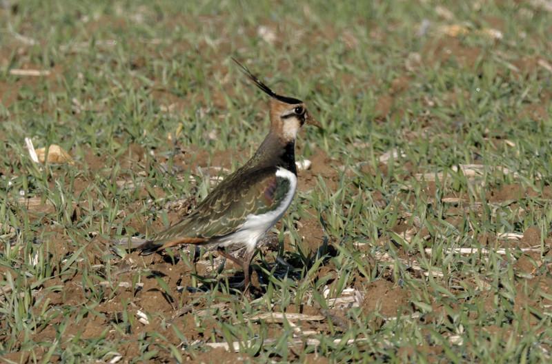 Vanneau huppé - Vanellus vanellus 298_s10