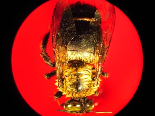Carpenter Bee: Carpen11