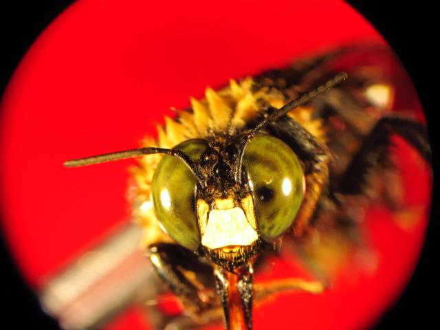 Carpenter Bee: Carpen13