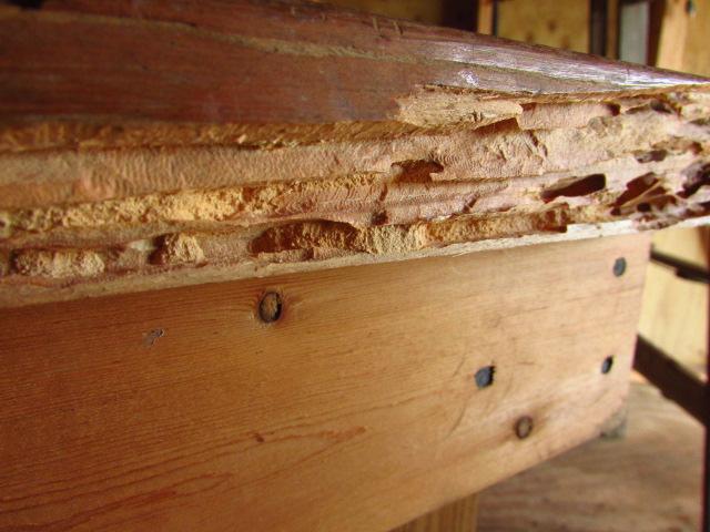 Wood Beetle Larvae Damage: Wood_b10