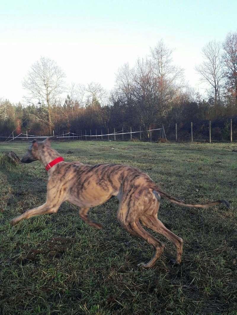 Serena ,toute fine galga bringée née en octobre 2013 Scooby France  Adoptée 20170211