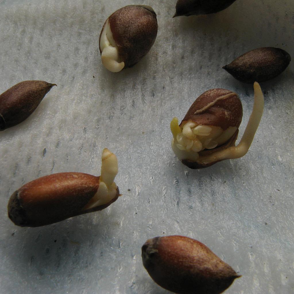 semis d'agrume Bigara10