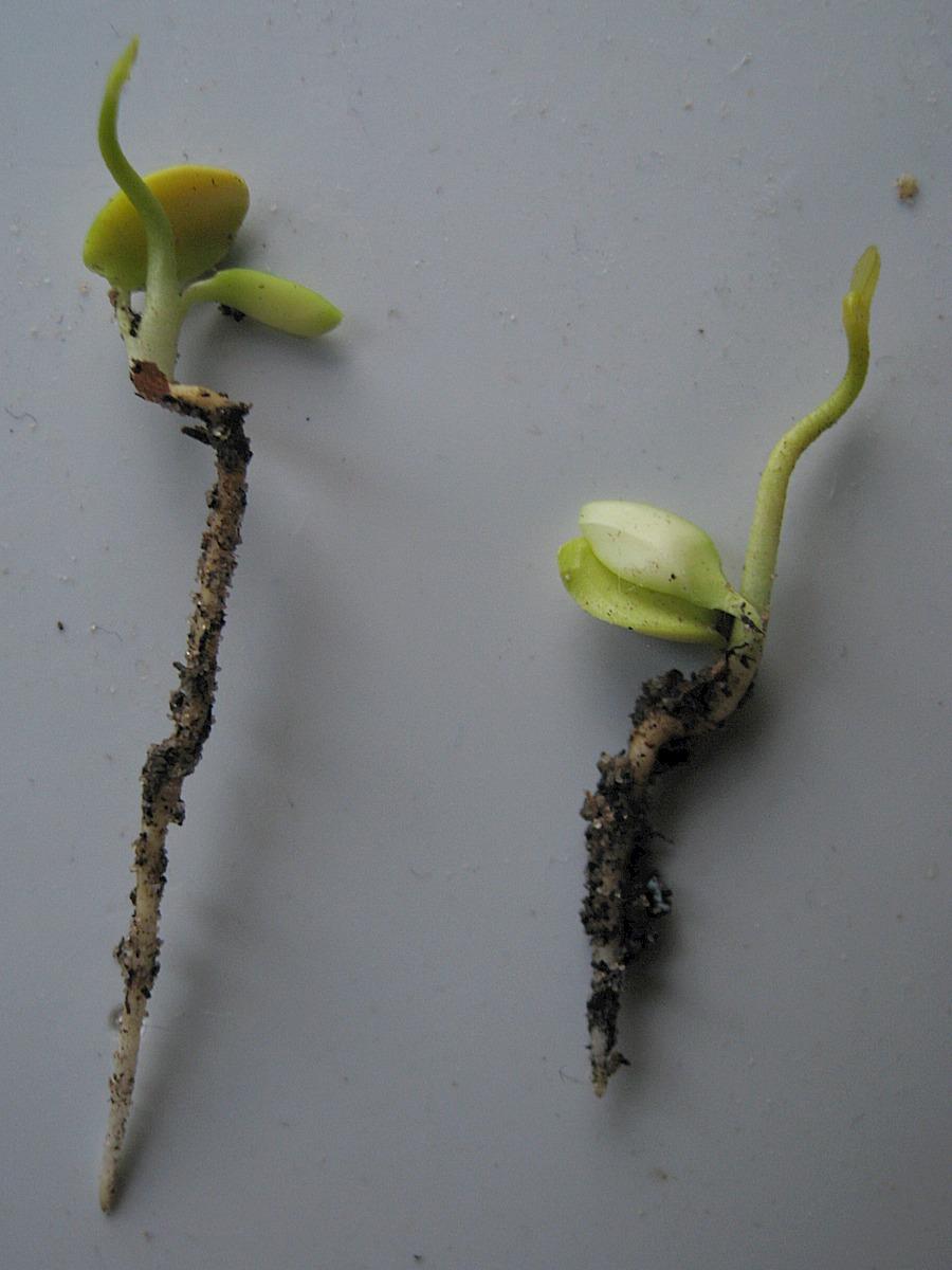 semis d'agrume Bigara11