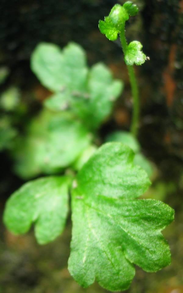 semis de fougères et autres ptéridophytes - Page 2 Fb0210