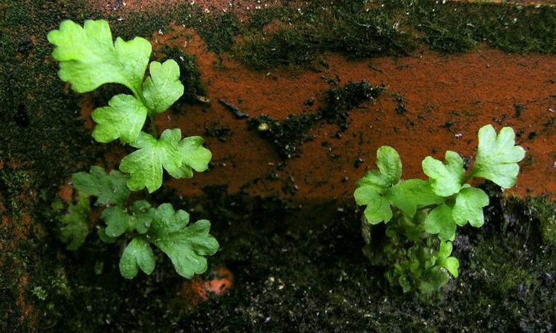 semis de fougères et autres ptéridophytes - Page 2 Fb0410