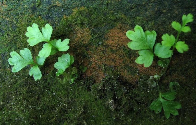 semis de fougères et autres ptéridophytes - Page 2 Fb0510