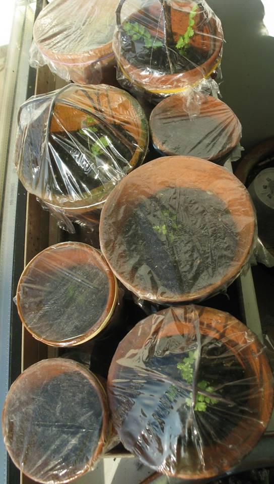 semis de fougères et autres ptéridophytes - Page 2 Fb0610