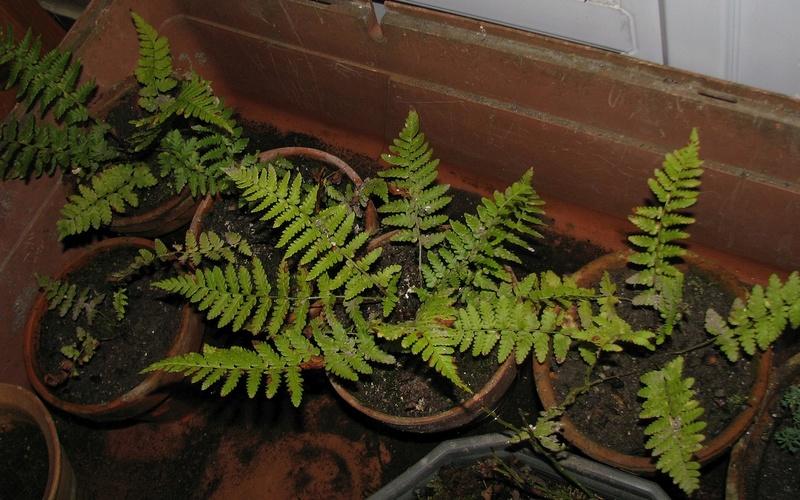 semis de fougères et autres ptéridophytes - Page 2 Fb0910