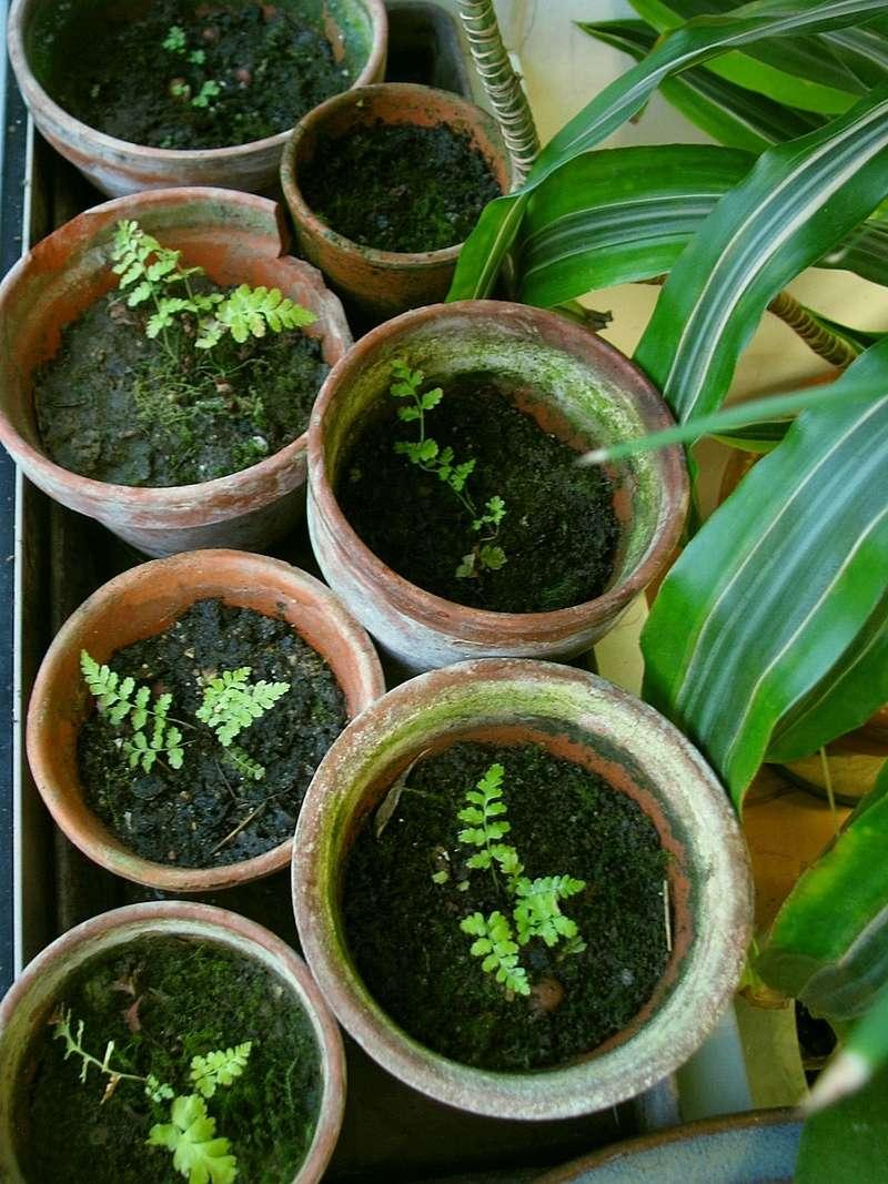 semis de fougères et autres ptéridophytes - Page 2 Fb1010