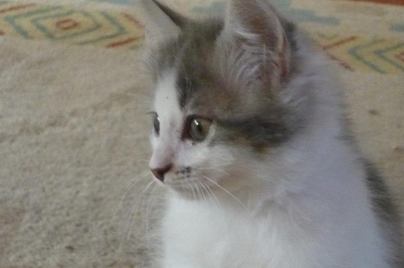 THOR,chaton trouvé rue du Parc à LILLERS avec son frére P1080611