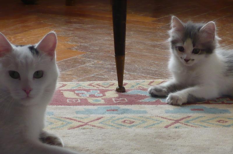 THOR,chaton trouvé rue du Parc à LILLERS avec son frére P1080612