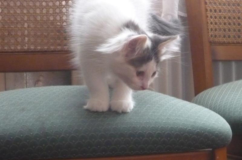 Simba ( ex : Odin ) petit chat trouvé avec son frére rue du Parc à LILLERS P1080615