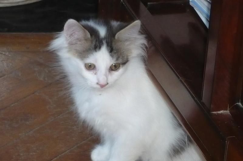Simba ( ex : Odin ) petit chat trouvé avec son frére rue du Parc à LILLERS P1080617