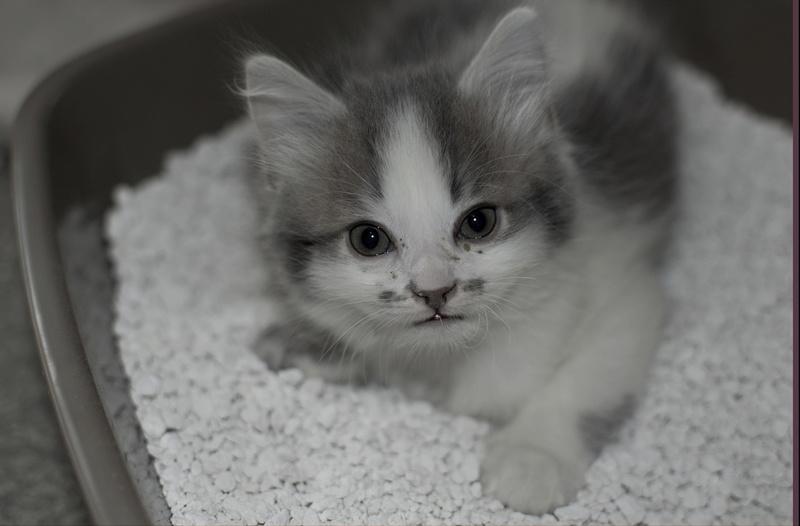 THOR,chaton trouvé rue du Parc à LILLERS avec son frére Petit_10