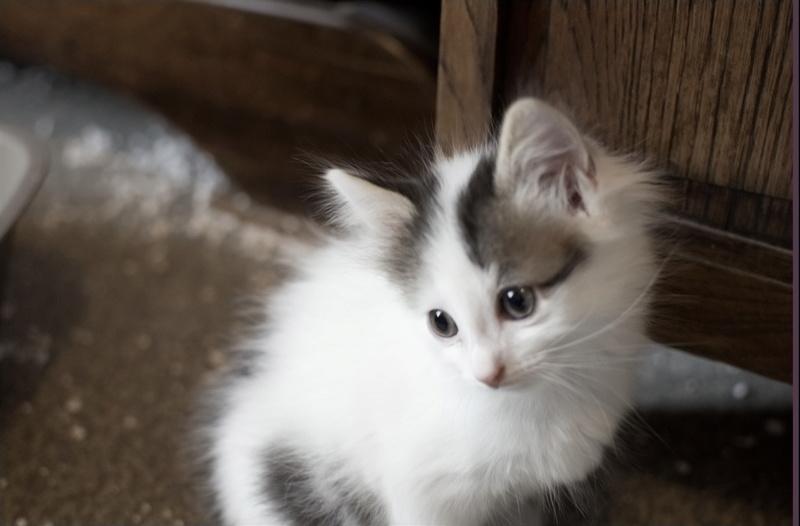 Simba ( ex : Odin ) petit chat trouvé avec son frére rue du Parc à LILLERS Petitc10