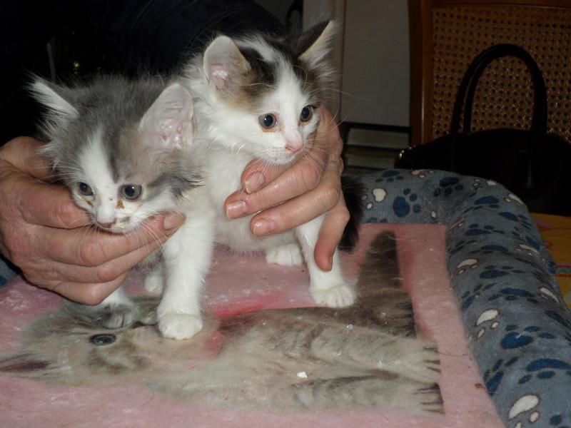 THOR,chaton trouvé rue du Parc à LILLERS avec son frére Sam_0210