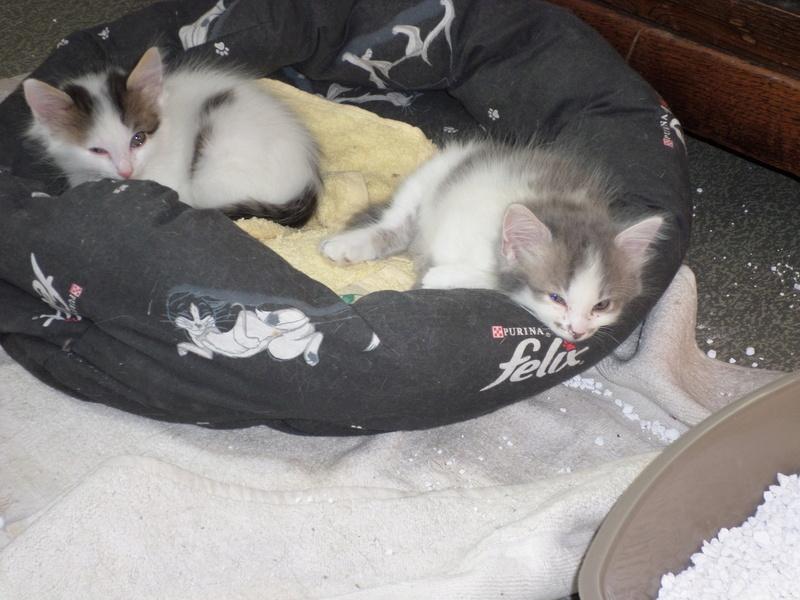 Simba ( ex : Odin ) petit chat trouvé avec son frére rue du Parc à LILLERS Sam_0211