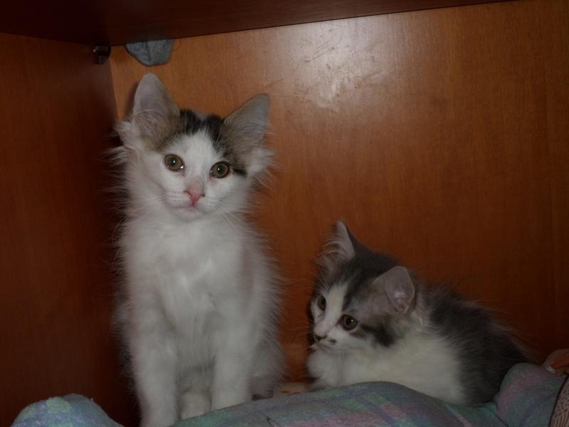 Simba ( ex : Odin ) petit chat trouvé avec son frére rue du Parc à LILLERS Sam_0213