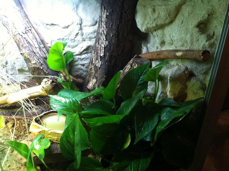 terrarium cordylus tropidosternum Img_1813