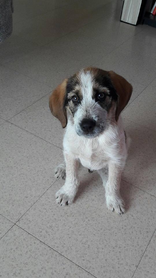 jeune chiot croisé Beagle/Griffon Beagle10