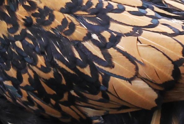 Grande exposition /concours avicole virtuel de fin d'année spécial Gallinacée (100 euros à gagner) - Page 2 Padoue10